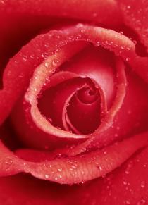 Rose 00368