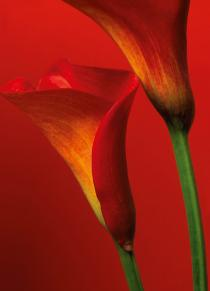 Red Calla Lilies 00406