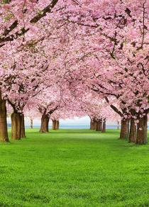 Cherry Trees 385