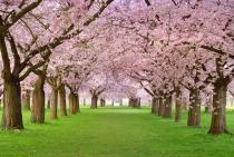 Яблони в цвету 1028